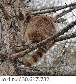 Raccoon (Procyon lotor) sits on branch high on larch tree in spring. Стоковое фото, фотограф Валерия Попова / Фотобанк Лори