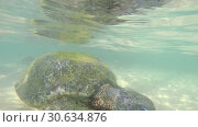 Купить «Macro view of Big olive turtle in the water on the coast of the Turtle Beach in Hikkaduwa, Sri Lanka in the Indian Ocean», видеоролик № 30634876, снято 23 апреля 2019 г. (c) katalinks / Фотобанк Лори