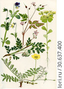 Купить «Wildflowers. 1. Pansy or Heart's -ease 2. Stork's Bill 3. Herb Robert 4. Silverweed 5. Sun Spurge.», фото № 30637400, снято 14 ноября 2019 г. (c) age Fotostock / Фотобанк Лори