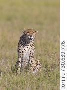 Купить «Cheetah (Acinonyx jubatus), Maasai Mara National Reserve, Kenya, Africa.», фото № 30639776, снято 7 марта 2019 г. (c) age Fotostock / Фотобанк Лори