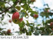 Купить «Apple tree with apples», фото № 30644328, снято 16 сентября 2018 г. (c) Jan Jack Russo Media / Фотобанк Лори