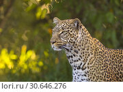 Купить «Leopard (Panthera pardus), Masai Mara National Reserve, Kenya, Africa.», фото № 30646276, снято 15 марта 2019 г. (c) age Fotostock / Фотобанк Лори