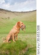 Купить «A fox red labrador, working gundog, holding a partridge», фото № 30653508, снято 17 января 2018 г. (c) Ingram Publishing / Фотобанк Лори