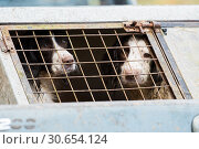 Working springer spaniels in a dog box in a pick up truck, ready to start working. Стоковое фото, агентство Ingram Publishing / Фотобанк Лори