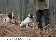 Купить «Portrait of a working liver and white springer spaniel on a game shoot», фото № 30654232, снято 23 июля 2019 г. (c) Ingram Publishing / Фотобанк Лори