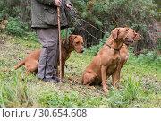 A woman with her three working gundogs; fox red labradors. Стоковое фото, агентство Ingram Publishing / Фотобанк Лори
