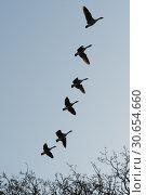 Купить «Canada Geese flying in formation», фото № 30654660, снято 17 июля 2019 г. (c) Ingram Publishing / Фотобанк Лори