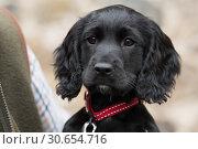 Купить «A future shooting dog; working cocker spaniel puppy», фото № 30654716, снято 16 июля 2017 г. (c) Ingram Publishing / Фотобанк Лори