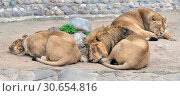 Купить «Sweet Dreams. Family of Asiatic lions (Panthera Leo Persica) is sleeping», фото № 30654816, снято 20 апреля 2019 г. (c) Валерия Попова / Фотобанк Лори