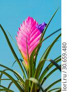 Купить «Тилландсия Анита. Tillandsia Cyanea Anita - closeup. Tillandsia cyanea is native to Ecuador. It grows epiphyte on trees in rainforests», фото № 30659480, снято 22 апреля 2019 г. (c) Зезелина Марина / Фотобанк Лори