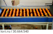 Купить «View of ripe mandarin oranges on conveyor belt of sorting production line», видеоролик № 30664540, снято 29 января 2019 г. (c) Яков Филимонов / Фотобанк Лори