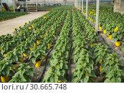 Купить «Decorative sunflower flowers carefully growing in flowerpots in glasshouse farm», фото № 30665748, снято 9 апреля 2019 г. (c) Яков Филимонов / Фотобанк Лори