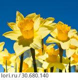 Красивые желтые нарциссы на фоне синего неба. Солнечный день весной. Стоковое фото, фотограф E. O. / Фотобанк Лори