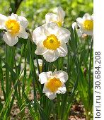 "Купить «Narcissus ""Sound"", spring perennial plants of Amaryllidaceae (amaryllis) family», фото № 30684208, снято 1 мая 2019 г. (c) Валерия Попова / Фотобанк Лори"
