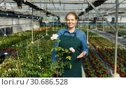 Купить «Woman checking roses in glasshouse», фото № 30686528, снято 3 октября 2018 г. (c) Яков Филимонов / Фотобанк Лори
