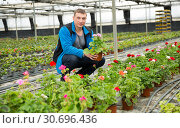 Купить «Gardener working with flowers of white geranium in greenhouse», фото № 30696436, снято 9 апреля 2019 г. (c) Яков Филимонов / Фотобанк Лори