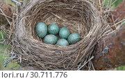 Купить «Nest of a thrush with six blue eggs on the pine tree in springtime. Slow motion», видеоролик № 30711776, снято 6 мая 2019 г. (c) Георгий Дзюра / Фотобанк Лори
