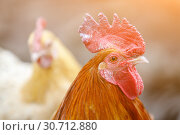 Portrait of a rooster with a red crest on a background of white chicken. Стоковое фото, фотограф Олег Белов / Фотобанк Лори
