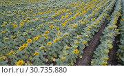 Купить «Image of field of sunflowers at sunny day, top view of landscape», видеоролик № 30735880, снято 25 августа 2018 г. (c) Яков Филимонов / Фотобанк Лори