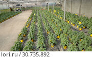 Купить «Seedlings of decorative sunflowers growing in pots in sunny greenhouse», видеоролик № 30735892, снято 26 апреля 2019 г. (c) Яков Филимонов / Фотобанк Лори