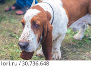 Купить «Portrait of a bloodhound dog», фото № 30736648, снято 10 августа 2018 г. (c) Акиньшин Владимир / Фотобанк Лори