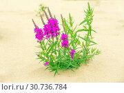 Купить «The herbaceous plant is a willowboot. Close-up.», фото № 30736784, снято 17 августа 2018 г. (c) Акиньшин Владимир / Фотобанк Лори