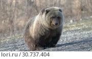 Купить «Дикий камчатский бурый медведь», видеоролик № 30737404, снято 12 мая 2019 г. (c) А. А. Пирагис / Фотобанк Лори