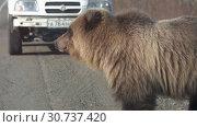 Купить «Дикий голодный камчатский бурый медведь попрошайничает еду у людей на автомобильной дороге», видеоролик № 30737420, снято 12 мая 2019 г. (c) А. А. Пирагис / Фотобанк Лори