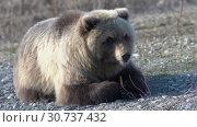 Купить «Камчатский бурый медведь», видеоролик № 30737432, снято 12 мая 2019 г. (c) А. А. Пирагис / Фотобанк Лори