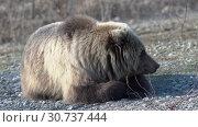Купить «Камчатский бурый медведь лежит на камнях», видеоролик № 30737444, снято 12 мая 2019 г. (c) А. А. Пирагис / Фотобанк Лори