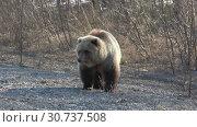 Купить «Камчатский бурый медведь», видеоролик № 30737508, снято 12 мая 2019 г. (c) А. А. Пирагис / Фотобанк Лори