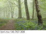 Купить «Misty spring morning in a West Sussex woodland, England.», фото № 30767308, снято 30 апреля 2019 г. (c) age Fotostock / Фотобанк Лори