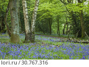 Купить «Bluebells in a West Sussex woodland, England.», фото № 30767316, снято 30 апреля 2019 г. (c) age Fotostock / Фотобанк Лори