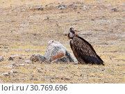 Купить «Гриф в дикой природе в горах Тибета», фото № 30769696, снято 6 июня 2018 г. (c) Овчинникова Ирина / Фотобанк Лори