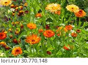 Купить «Махровая календула (лат. Calendula officinalis) цветет в летнем саду», фото № 30770148, снято 14 июля 2018 г. (c) Елена Коромыслова / Фотобанк Лори