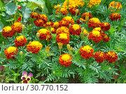Купить «Бархатцы (лат. Tagetes patula) цветут в саду», фото № 30770152, снято 14 июля 2018 г. (c) Елена Коромыслова / Фотобанк Лори