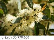 Купить «Eucalyptus white flowers», фото № 30770660, снято 16 июня 2019 г. (c) Яков Филимонов / Фотобанк Лори