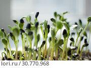 Купить «Side view of green sunflower seeds germinating in box. Growth of fresh and raw sprouts. Healthy food concept, microgreens farming at home», фото № 30770968, снято 29 марта 2019 г. (c) Ольга Балынская / Фотобанк Лори