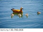Купить «Огарь, или красная утка (лат. Tadorna ferruginea) с утятами», фото № 30780004, снято 16 мая 2019 г. (c) Natalya Sidorova / Фотобанк Лори