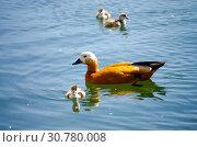Огарь, или красная утка (лат. Tadorna ferruginea) с утятами. Стоковое фото, фотограф Natalia Sidorova / Фотобанк Лори