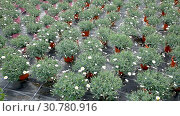 Купить «Rows of African daisies growing in greenhouse farm», видеоролик № 30780916, снято 26 апреля 2019 г. (c) Яков Филимонов / Фотобанк Лори