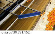 Купить «View of ripe mandarin oranges on conveyor belt of sorting production line», видеоролик № 30781152, снято 29 января 2019 г. (c) Яков Филимонов / Фотобанк Лори