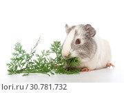 Купить «Smoothhaired guinea pig», фото № 30781732, снято 14 мая 2019 г. (c) age Fotostock / Фотобанк Лори
