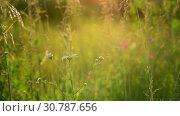 Купить «Beautiful summer landscape with grass at sunset. Russia», видеоролик № 30787656, снято 28 июня 2018 г. (c) Володина Ольга / Фотобанк Лори