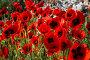 Купить «Весеннее поле цветущих красных маков», фото № 30787800, снято 10 мая 2019 г. (c) Николай Винокуров / Фотобанк Лори