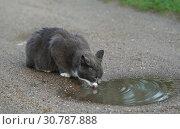 Купить «Серый кот пьёт из лужи», эксклюзивное фото № 30787888, снято 10 мая 2019 г. (c) Dmitry29 / Фотобанк Лори