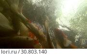 Купить «Underwater Koi fish in pond eating.», видеоролик № 30803140, снято 17 марта 2019 г. (c) Игорь Жоров / Фотобанк Лори