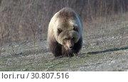 Купить «Грозный камчатский бурый медведь», видеоролик № 30807516, снято 12 мая 2019 г. (c) А. А. Пирагис / Фотобанк Лори