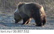 Купить «Камчатский бурый медведь идет по камням», видеоролик № 30807532, снято 12 мая 2019 г. (c) А. А. Пирагис / Фотобанк Лори