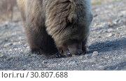 Купить «Прикормленный людьми камчатский бурый медведь ест пирожок», видеоролик № 30807688, снято 12 мая 2019 г. (c) А. А. Пирагис / Фотобанк Лори